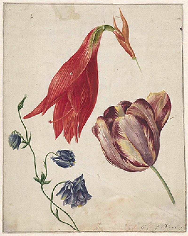Tulp, akelei en amaryllis Georgius Jacobus Johannes van Os